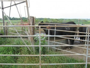 Cattle Standing In Tank